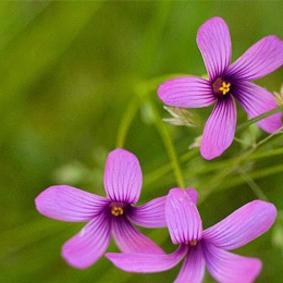 florcita