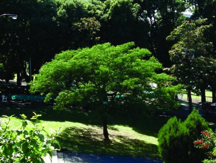 La especie tala fue declarada árbol representativo porteño por la Legislatura.